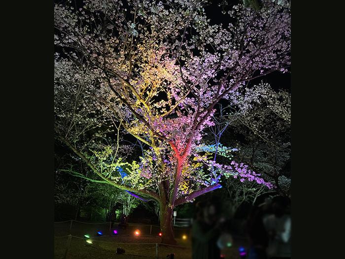 桜ライトアップ ブログ